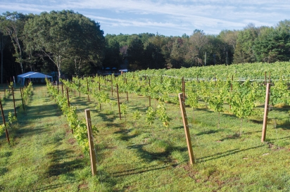 Vines at Nickle Creek Vineyards